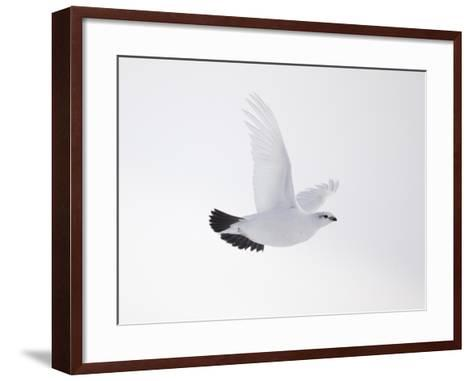 Rock Ptarmigan (Lagopus Mutus) Female in Flight, Winter Plumage, Cairngorms Np, Highland, UK-Peter Cairns-Framed Art Print