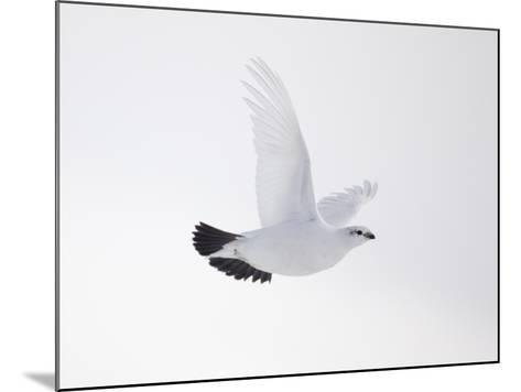 Rock Ptarmigan (Lagopus Mutus) Female in Flight, Winter Plumage, Cairngorms Np, Highland, UK-Peter Cairns-Mounted Photographic Print