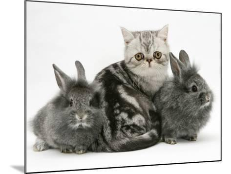 Blue-Silver Exotic Shorthair Kitten with Baby Silver Lionhead Rabbits-Jane Burton-Mounted Photographic Print