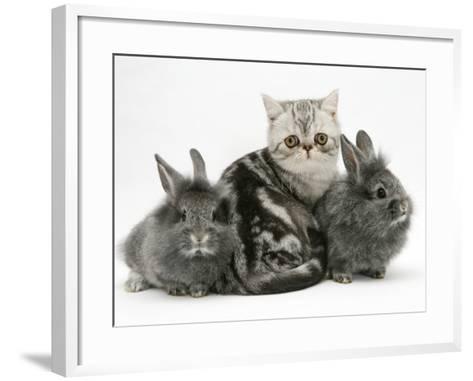 Blue-Silver Exotic Shorthair Kitten with Baby Silver Lionhead Rabbits-Jane Burton-Framed Art Print