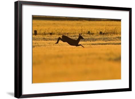 Roe Deer (Capreolus Capreolus) Doe Leaping Through Barley Field in Dawn Light. Perthshire, Scotland-Fergus Gill-Framed Art Print