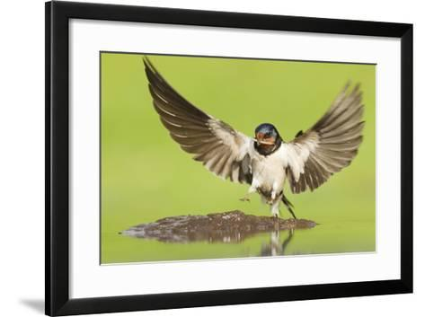 Barn Swallow (Hirundo Rustica) Collecting Mud for Nest Building. Inverness-Shire, Scotland, June-Mark Hamblin-Framed Art Print