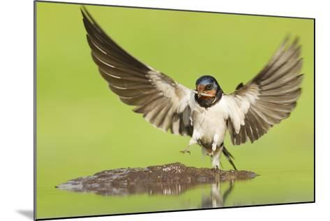 Barn Swallow (Hirundo Rustica) Collecting Mud for Nest Building. Inverness-Shire, Scotland, June-Mark Hamblin-Mounted Photographic Print