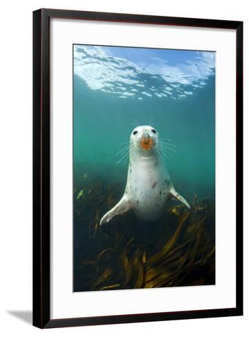 Grey Seal (Halichoerus Grypus) Underwater Amongst Kelp. Farne Islands, Northumberland, England-Alex Mustard-Framed Art Print