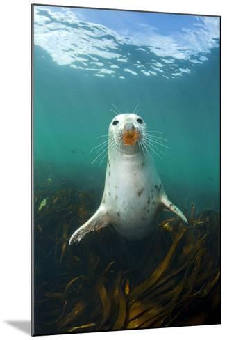 Grey Seal (Halichoerus Grypus) Underwater Amongst Kelp. Farne Islands, Northumberland, England-Alex Mustard-Mounted Photographic Print
