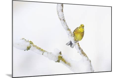 Yellowhammer (Emberiza Citrinella) Perched on Snowy Branch. Perthshire, Scotland, UK, February-Fergus Gill-Mounted Photographic Print