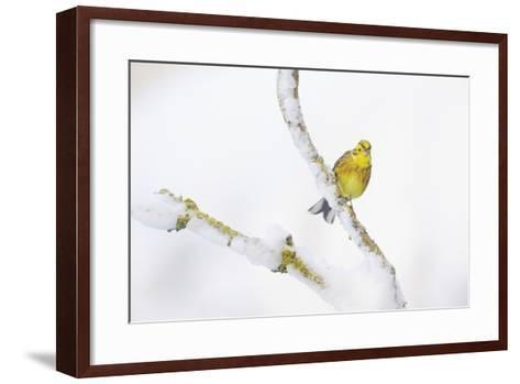 Yellowhammer (Emberiza Citrinella) Perched on Snowy Branch. Perthshire, Scotland, UK, February-Fergus Gill-Framed Art Print
