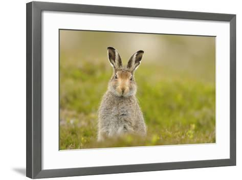 Mountain Hare (Lepus Timidus) Sub-Adult Leveret, Cairngorms National Park, Scotland, UK, July-Fergus Gill-Framed Art Print