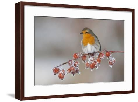 Adult Robin (Erithacus Rubecula) in Winter, Perched on Twig with Frozen Crab Apples, Scotland, UK-Mark Hamblin-Framed Art Print