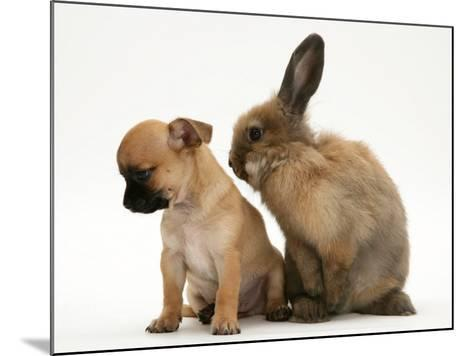 Chihuahua Puppy and Lionhead Rabbit-Jane Burton-Mounted Photographic Print