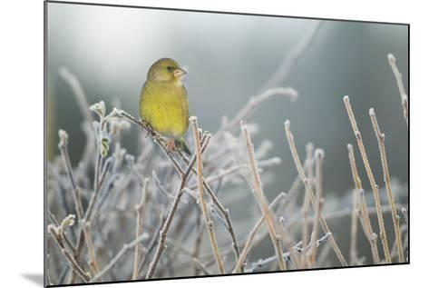 Greenfinch (Carduelis Chloris) Male Perched in Hedgerow in Frost, Scotland, UK, December-Mark Hamblin-Mounted Photographic Print