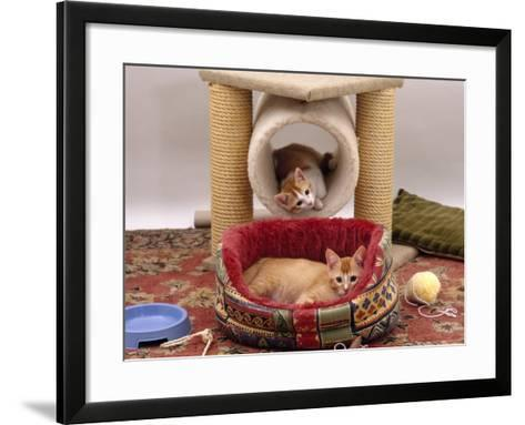 Domestic Cat, 12-Week Kittens Settled into New Home, with Bed and Leisure / Play Centre and Toys-Jane Burton-Framed Art Print
