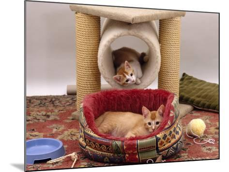 Domestic Cat, 12-Week Kittens Settled into New Home, with Bed and Leisure / Play Centre and Toys-Jane Burton-Mounted Photographic Print
