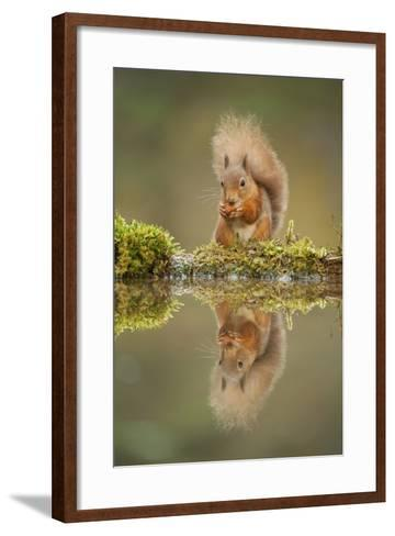 Red Squirrel (Sciurus Vulgaris) at Woodland Pool, Feeding on Nut, Scotland, UK, November-Mark Hamblin-Framed Art Print