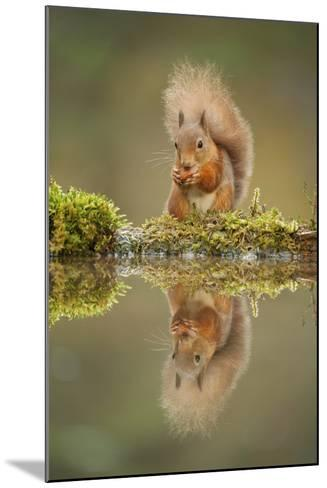 Red Squirrel (Sciurus Vulgaris) at Woodland Pool, Feeding on Nut, Scotland, UK, November-Mark Hamblin-Mounted Photographic Print