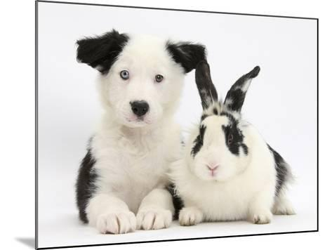 Black and White Border Collie Puppy and Black and White Rabbit-Mark Taylor-Mounted Photographic Print