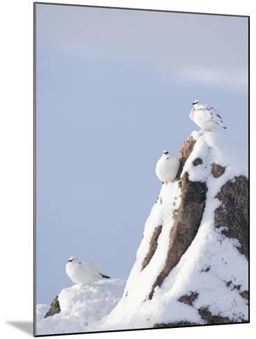 Three Rock Ptarmigan (Lagopus Mutus) Perched, Winter Plumage, Cairngorms Np, Highlands, Scotland-Peter Cairns-Mounted Photographic Print