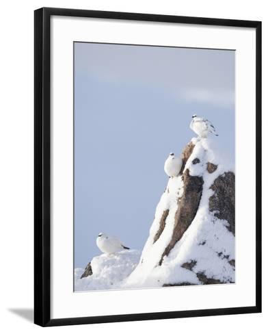 Three Rock Ptarmigan (Lagopus Mutus) Perched, Winter Plumage, Cairngorms Np, Highlands, Scotland-Peter Cairns-Framed Art Print