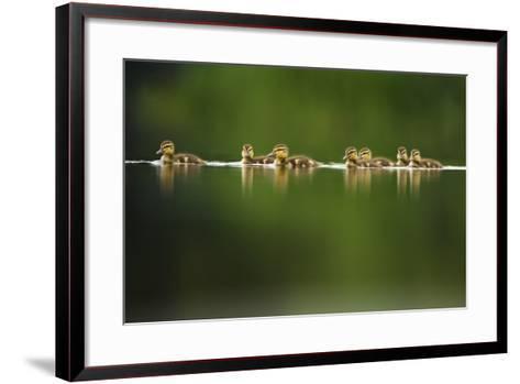 A Line of Mallard (Anas Platyrhynchos) Ducklings Swimming on a Still Lake, Derbyshire, England, UK-Andrew Parkinson-Framed Art Print