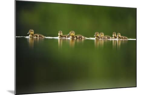A Line of Mallard (Anas Platyrhynchos) Ducklings Swimming on a Still Lake, Derbyshire, England, UK-Andrew Parkinson-Mounted Photographic Print