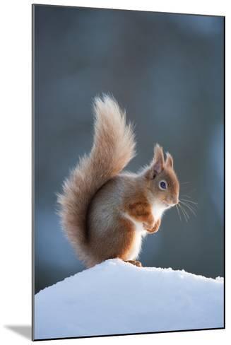 Red Squirrel (Sciurus Vulgaris) Adult in Snow, Cairngorms National Park, Scotland, February-Mark Hamblin-Mounted Photographic Print