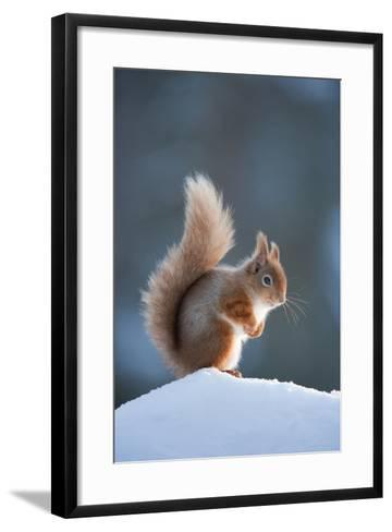 Red Squirrel (Sciurus Vulgaris) Adult in Snow, Cairngorms National Park, Scotland, February-Mark Hamblin-Framed Art Print