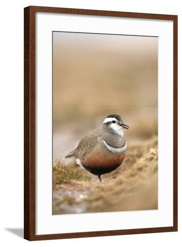 Male Eurasian Dotterel in Breeding Habitat, Grampian Mountains, Cairngorms Np, Scotland, UK-Mark Hamblin-Framed Art Print