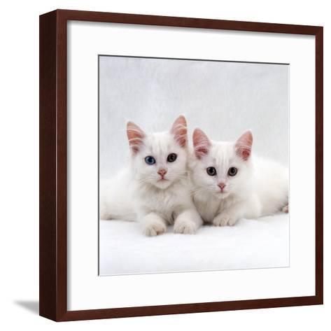Domestic Cat, White Semi-Longhair Turkish Angora Kittens, One with Odd Eyes-Jane Burton-Framed Art Print