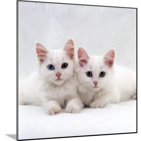 Domestic Cat, White Semi-Longhair Turkish Angora Kittens, One with Odd Eyes-Jane Burton-Mounted Photographic Print