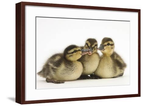 Three Mallard (Anas Platyrhynchos) Ducklings, 1 Week Old, Captive-Mark Taylor-Framed Art Print