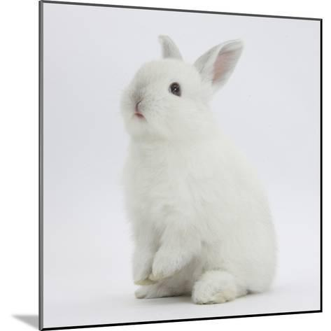 Young White Domestic Rabbit Sitting Up on its Haunches-Mark Taylor-Mounted Photographic Print