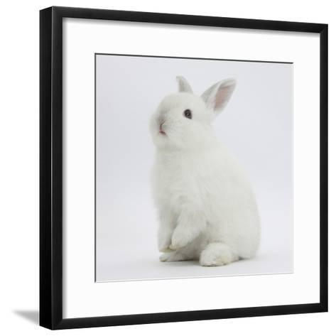 Young White Domestic Rabbit Sitting Up on its Haunches-Mark Taylor-Framed Art Print