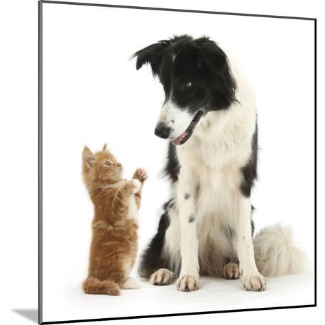 Black-And-White Border Collie Looking at Ginger Kitten-Mark Taylor-Mounted Photographic Print