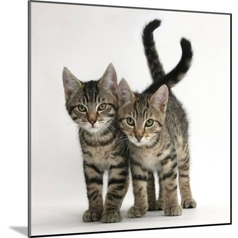 Tabby Kittens, Stanley and Fosset, 12 Weeks Old, Walking Together-Mark Taylor-Mounted Photographic Print