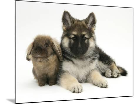 German Shepherd Dog (Alsatian) Bitch Puppy, Echo, with Lionhead Rabbit-Mark Taylor-Mounted Photographic Print