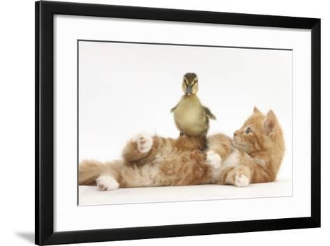 Ginger Kitten Lying on its Back with a Mallard Duckling Walking over It-Mark Taylor-Framed Art Print