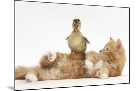 Ginger Kitten Lying on its Back with a Mallard Duckling Walking over It-Mark Taylor-Mounted Photographic Print