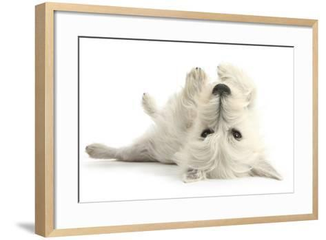 West Highland White Terrier Bitch, Milly, Lying Playfully on Her Back-Mark Taylor-Framed Art Print