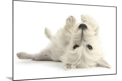 West Highland White Terrier Bitch, Milly, Lying Playfully on Her Back-Mark Taylor-Mounted Photographic Print