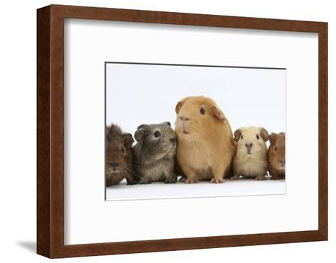 Mother Guinea Pig and Four Baby Guinea Pigs, Each a Different Colour-Mark Taylor-Framed Art Print