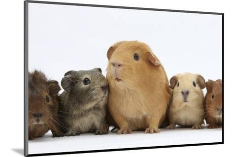 Mother Guinea Pig and Four Baby Guinea Pigs, Each a Different Colour-Mark Taylor-Mounted Photographic Print