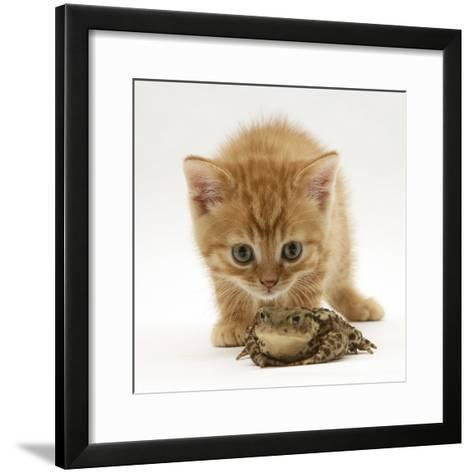 Ginger Tabby Kitten Looking at Common European Toad (Bufo Bufo)-Mark Taylor-Framed Art Print