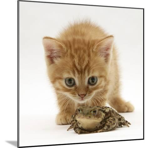 Ginger Tabby Kitten Looking at Common European Toad (Bufo Bufo)-Mark Taylor-Mounted Photographic Print