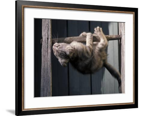 Scottish Fold Cat Hanging Upside-Down from Ladder Rung, Italy-Adriano Bacchella-Framed Art Print
