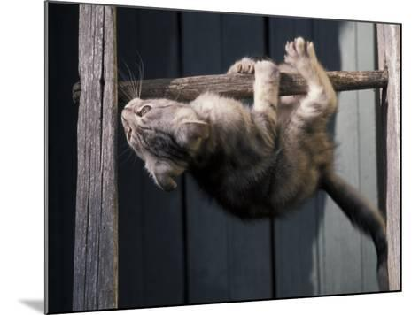 Scottish Fold Cat Hanging Upside-Down from Ladder Rung, Italy-Adriano Bacchella-Mounted Photographic Print