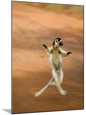 Verreaux's Sifaka 'Dancing', Berenty Private Reserve, South Madagascar-Inaki Relanzon-Mounted Photographic Print