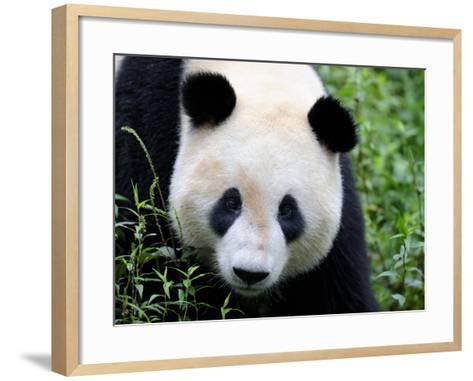 Head Portrait of a Giant Panda Bifengxia Giant Panda Breeding and Conservation Center, China-Eric Baccega-Framed Art Print