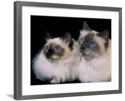Two Birman Cats Showing Deep Blue Eyes-Adriano Bacchella-Framed Art Print