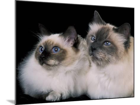 Two Birman Cats Showing Deep Blue Eyes-Adriano Bacchella-Mounted Photographic Print