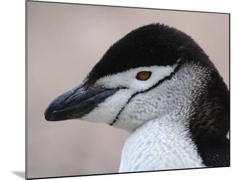 Chinstrap Penguin Head Portrait, Antarctica-Edwin Giesbers-Mounted Photographic Print